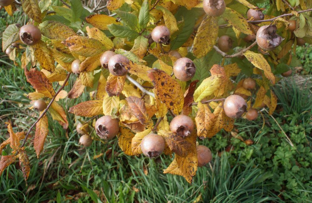 Medlar Fruit (Mespilus germanica)