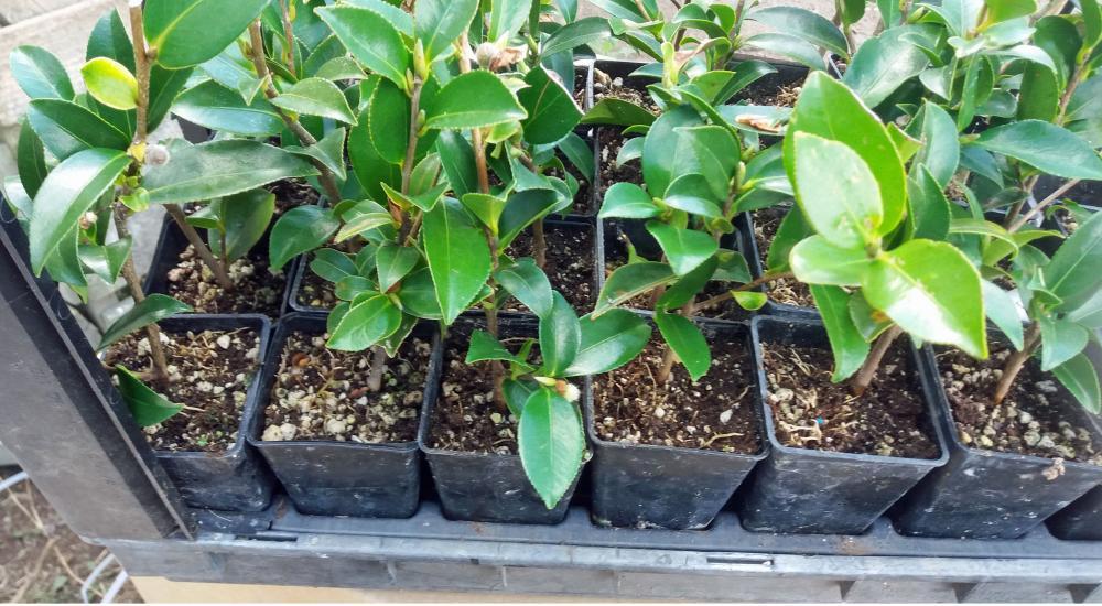 Camellia sasanqua Kanjiro (syn Hiryu)