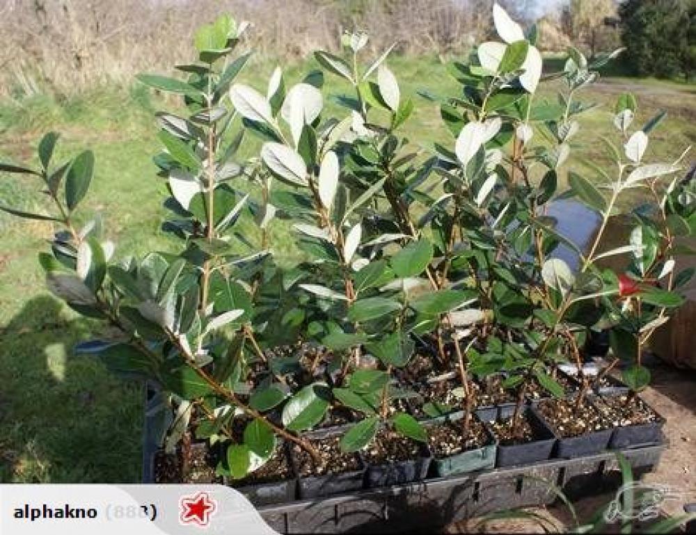 Plant Feijoa Gemini