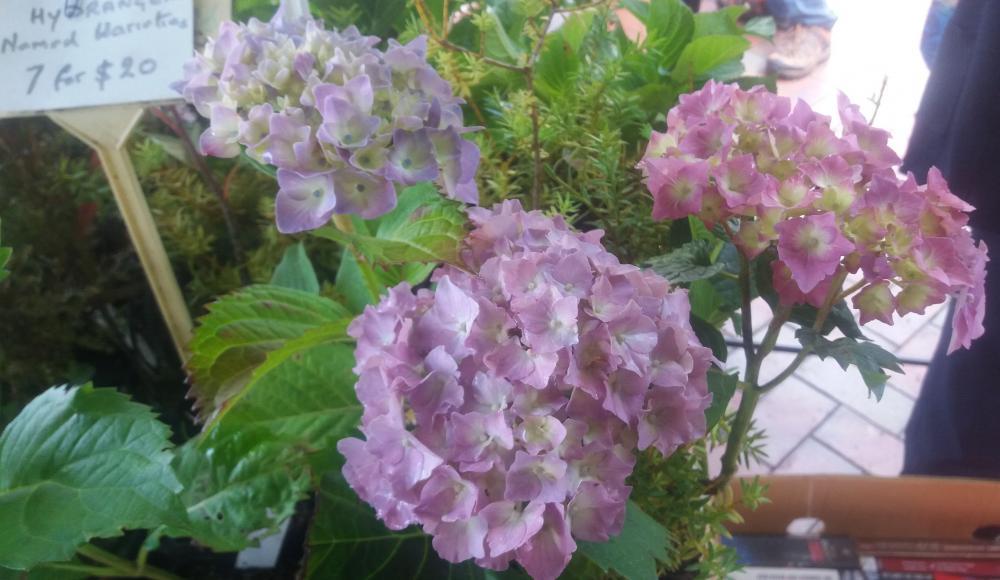 Hydrangea Altonia