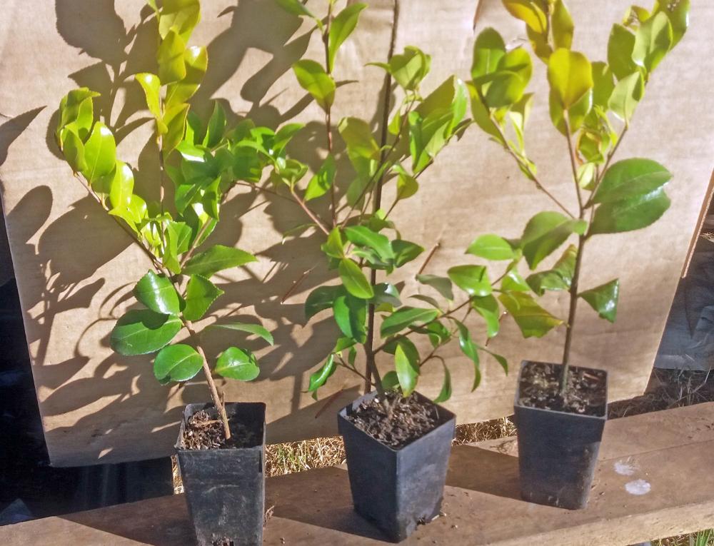 Camellia sasanqua Tanya
