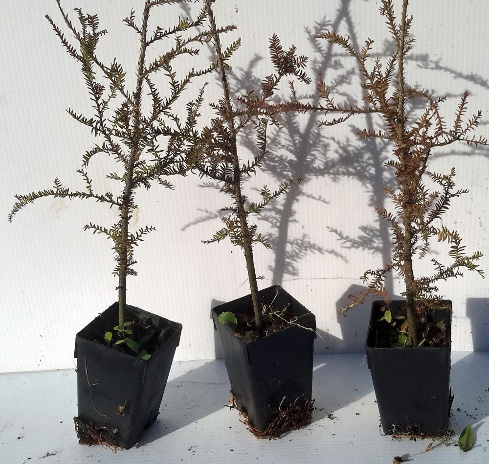 Dacrycarpus dacrydioides White Pine
